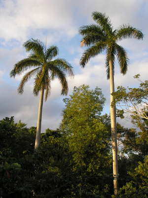 [Some very impressive Royal Palms]