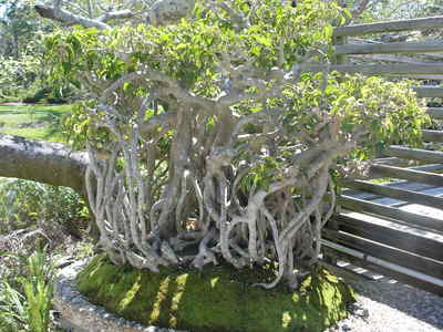 [Wow, a Bonsai forest of one tree!]